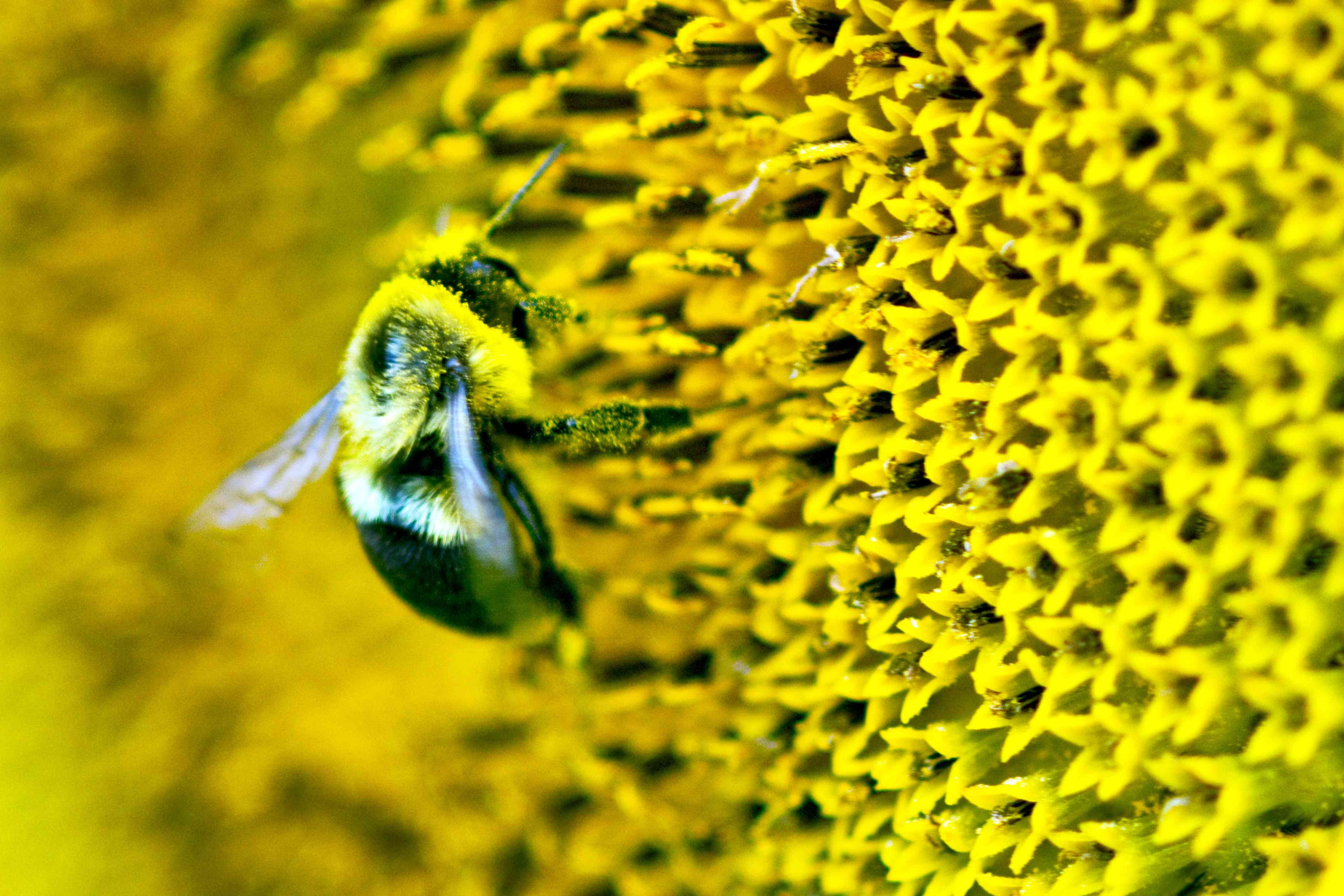 Extreme Close-Up of Southeastern Blueberry Bee on Sunflower