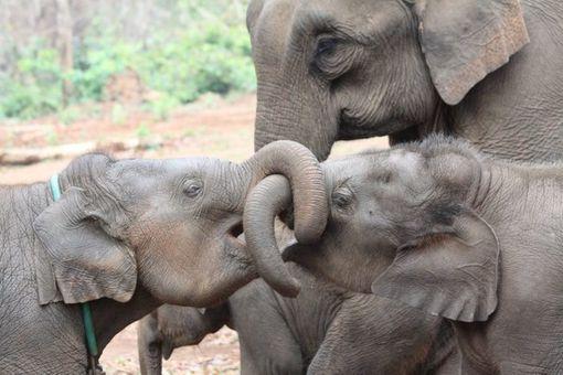 elephant siblings
