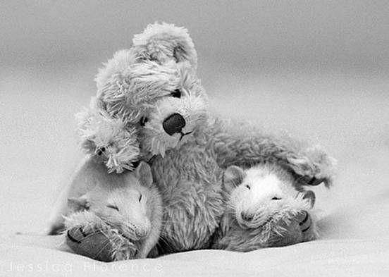 Two rats sleep on the legs of a teddy bear