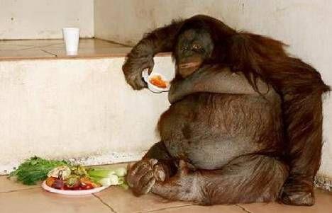 fat-orangutan.jpg