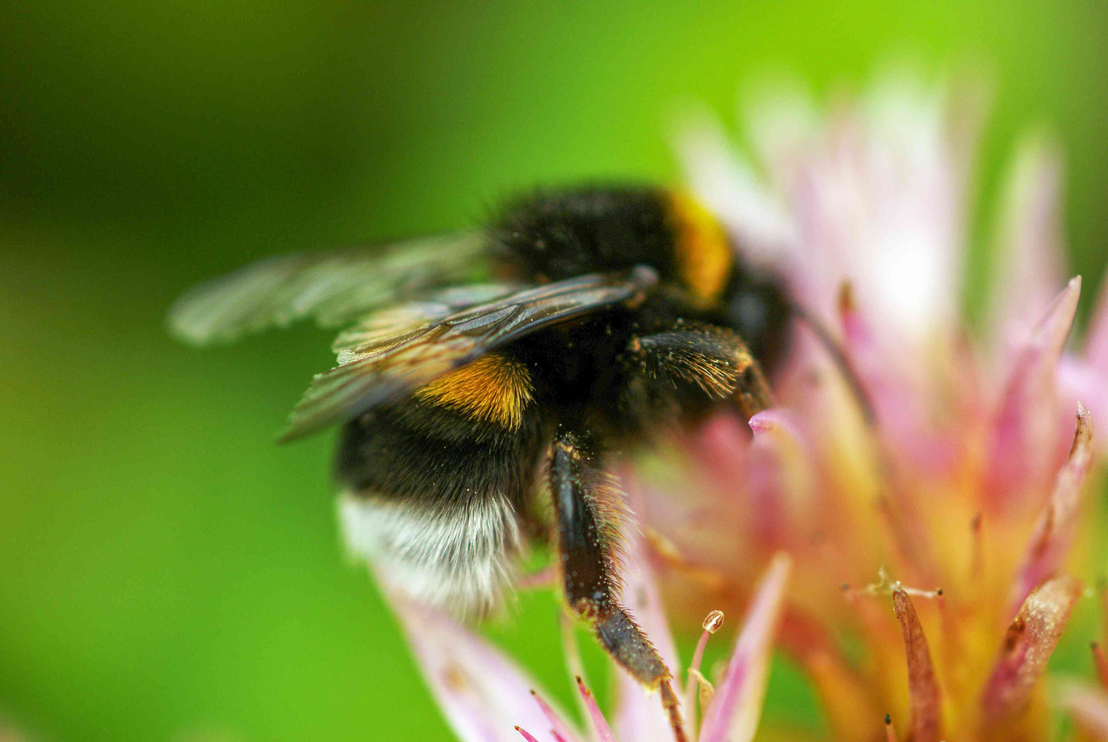 A bumblebee collecting pollen from a flower.
