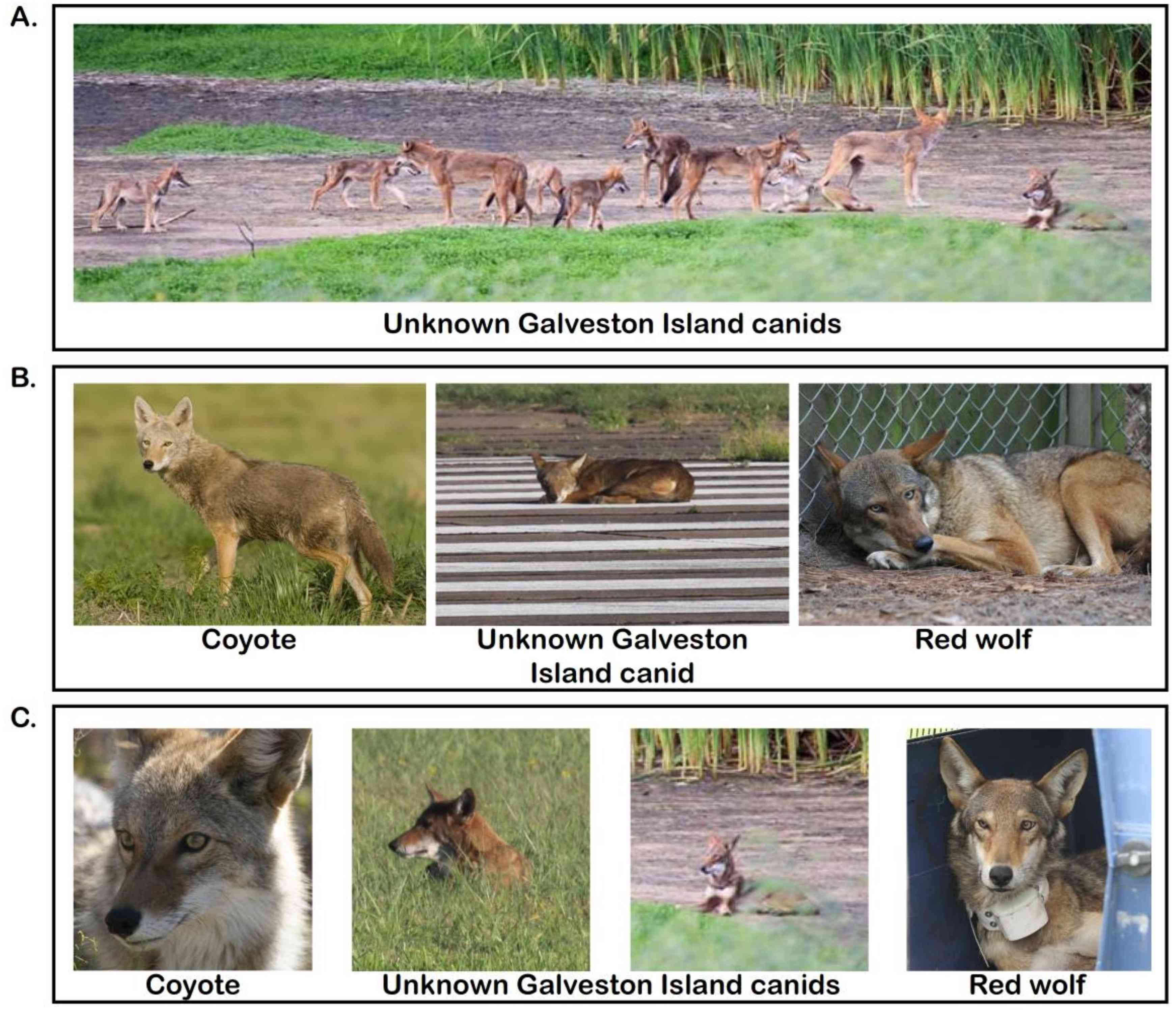 photographic comparison of coyotes, red wolves and the Galveston Island canids