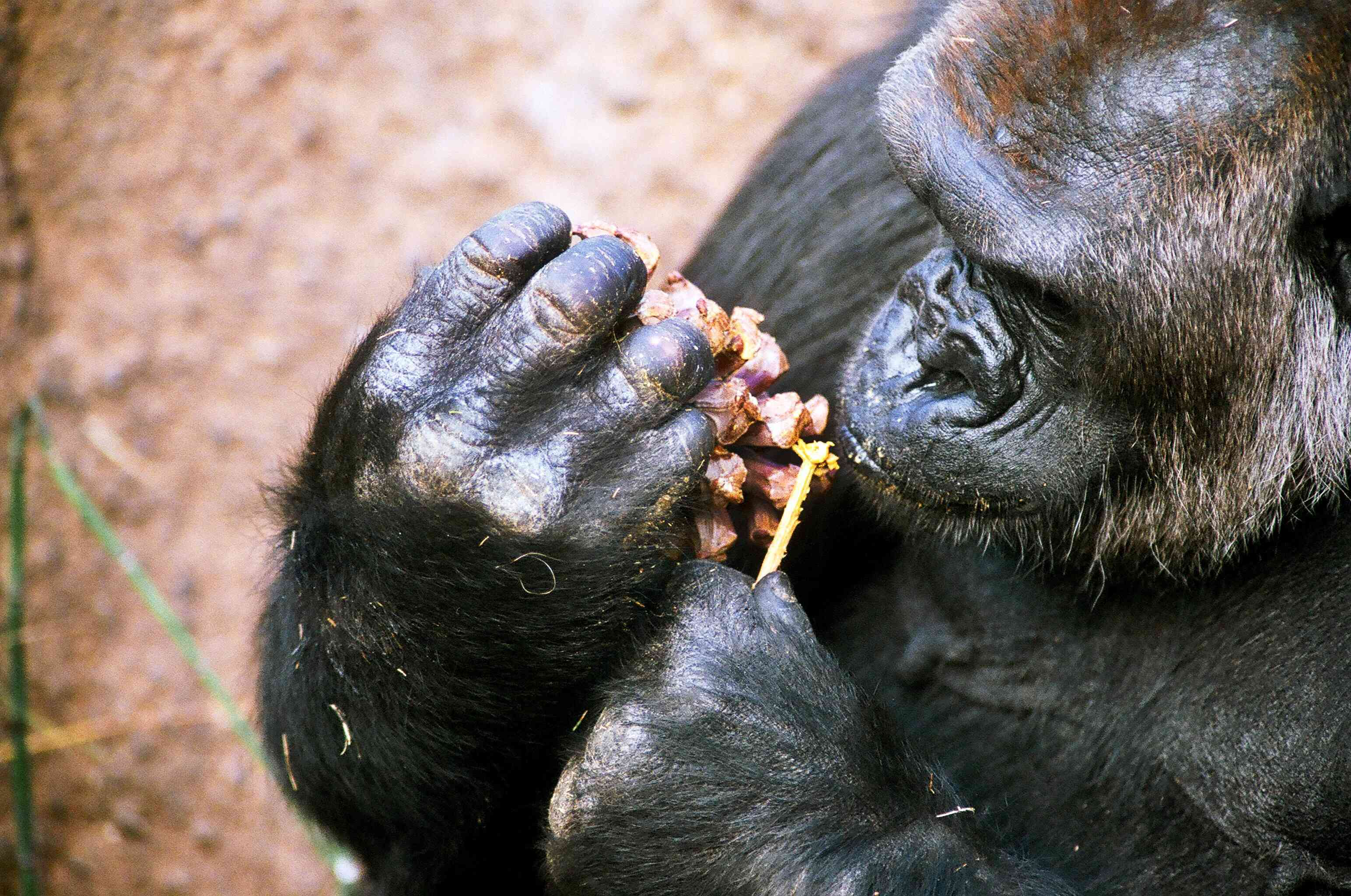 Silverback Gorilla Eating Peanut Butter out of Pinecone