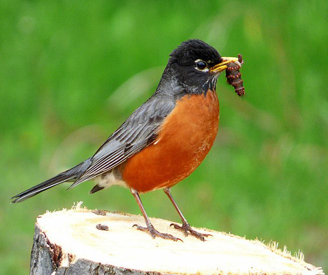 An American robin on a tree stump with a caterpillar in its beak
