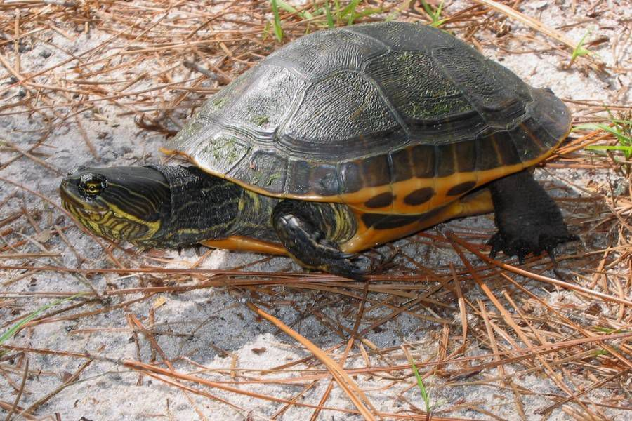 green chicken turtle walking on a sandy beach covered in twigs