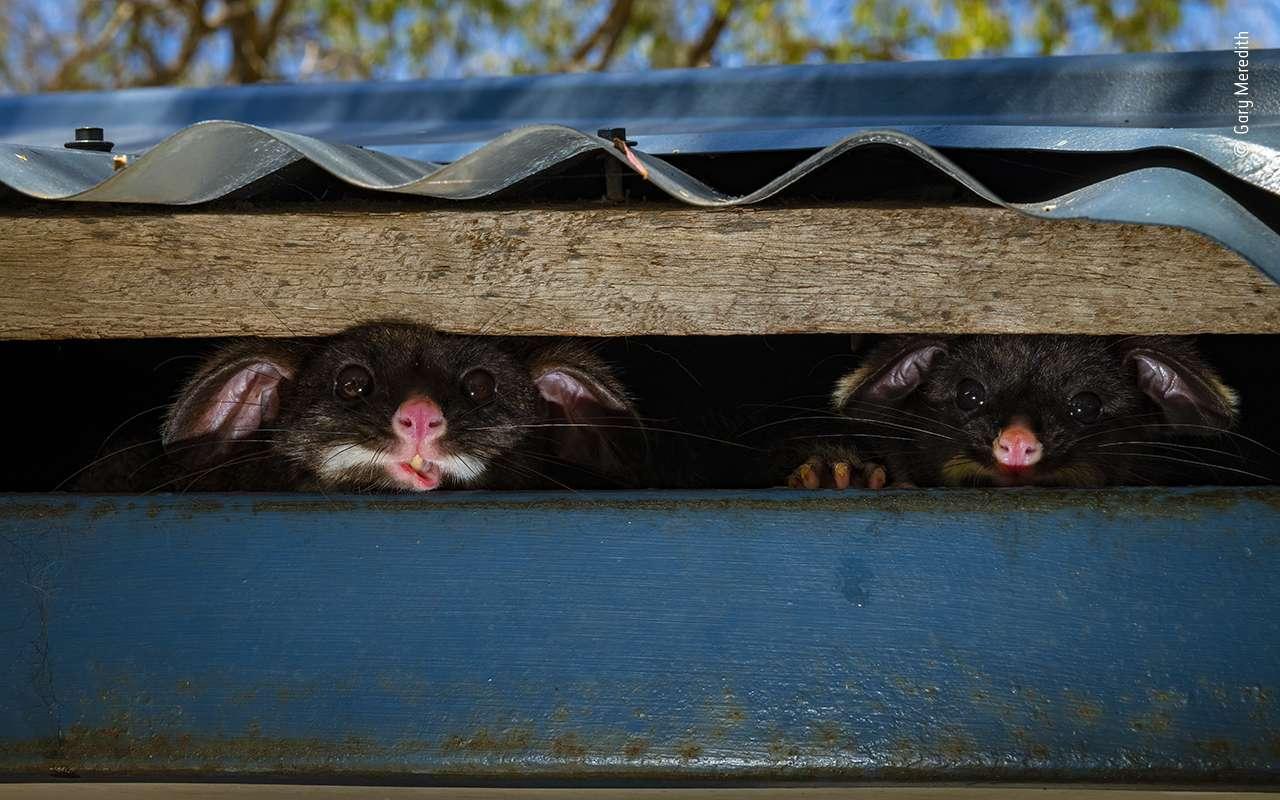 'Peeking possums' by Gary Meredith