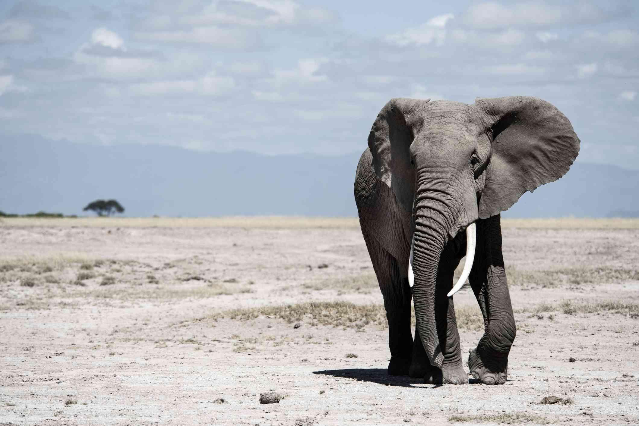 elephant walking in open field against light blue sky