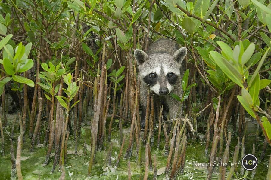 pygmy raccoon in the mangrove