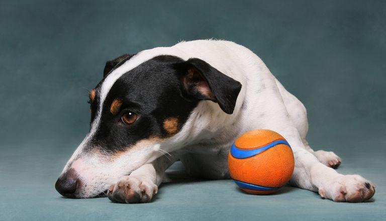 ¿Por qué los perros se aburren con sus juguetes?
