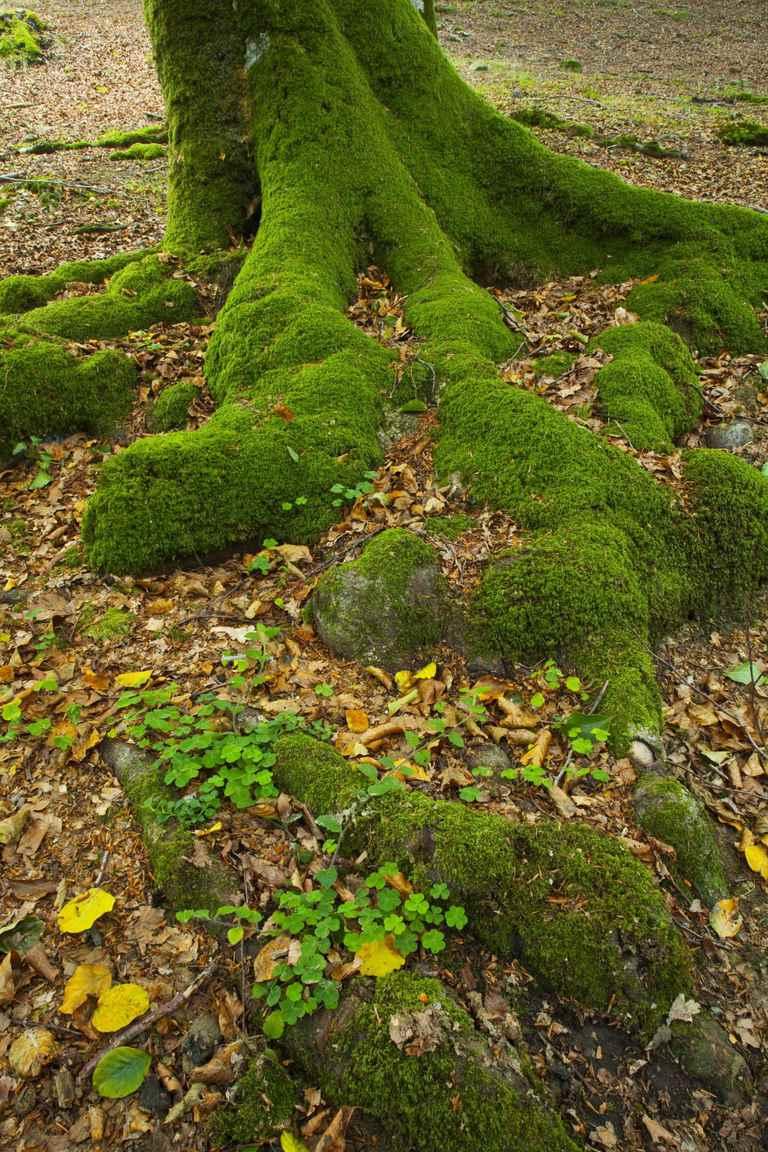 Beech forest, Barazar, Gorbeia tree