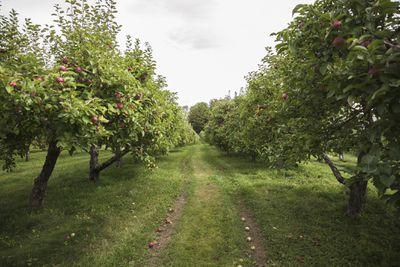 Looking down the middle of two rows of apple trees in an orchard