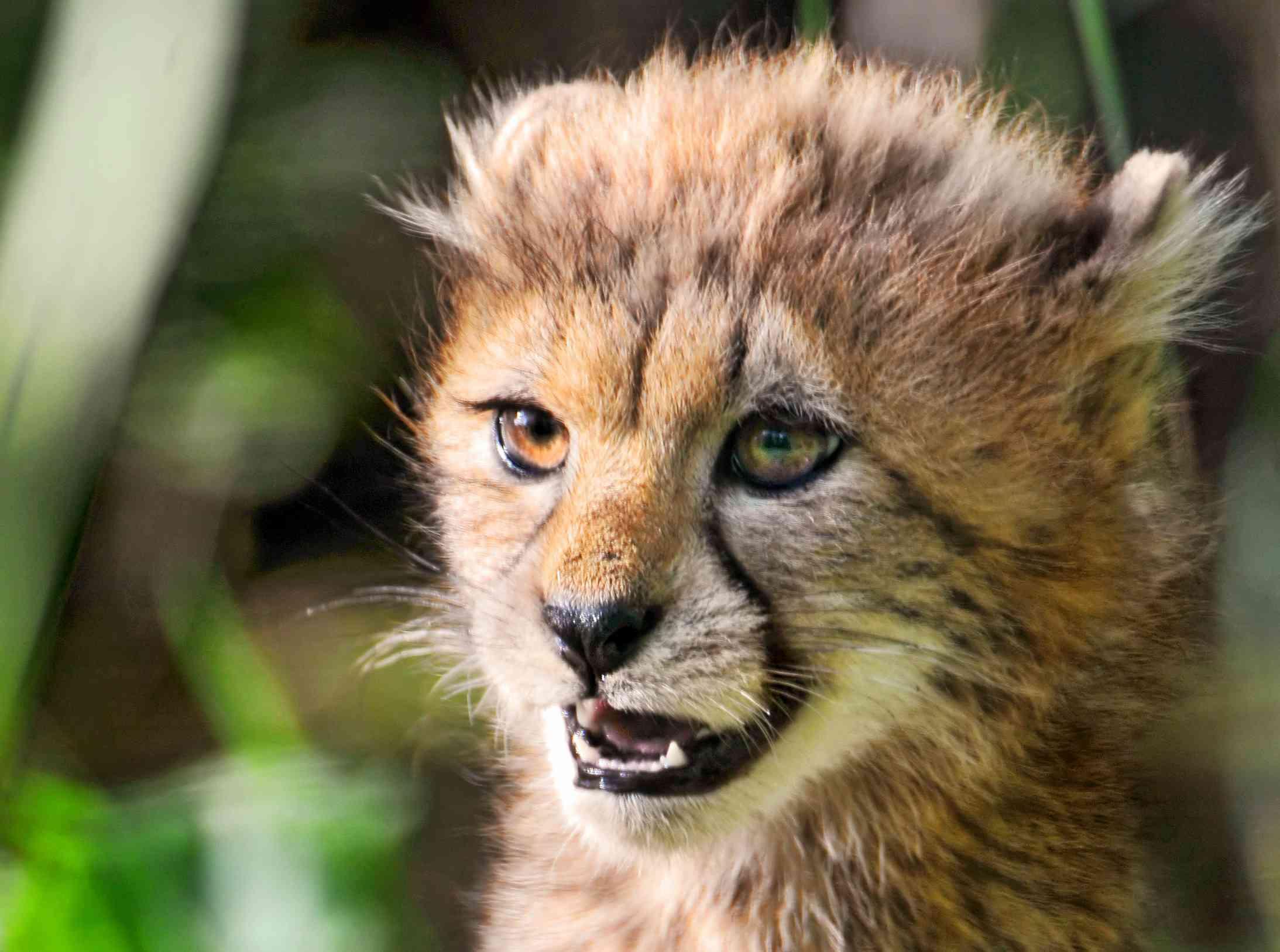 cheetah cub looking fierce