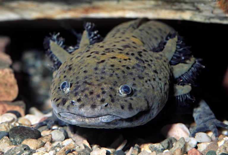 A brown and black spotted axolotl laying on a rocky surface