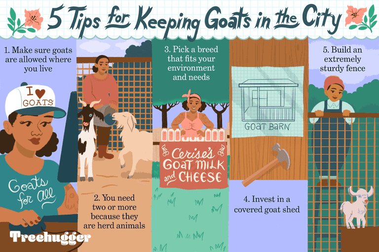 illustration giving 5 tips on how to keep goats in the city