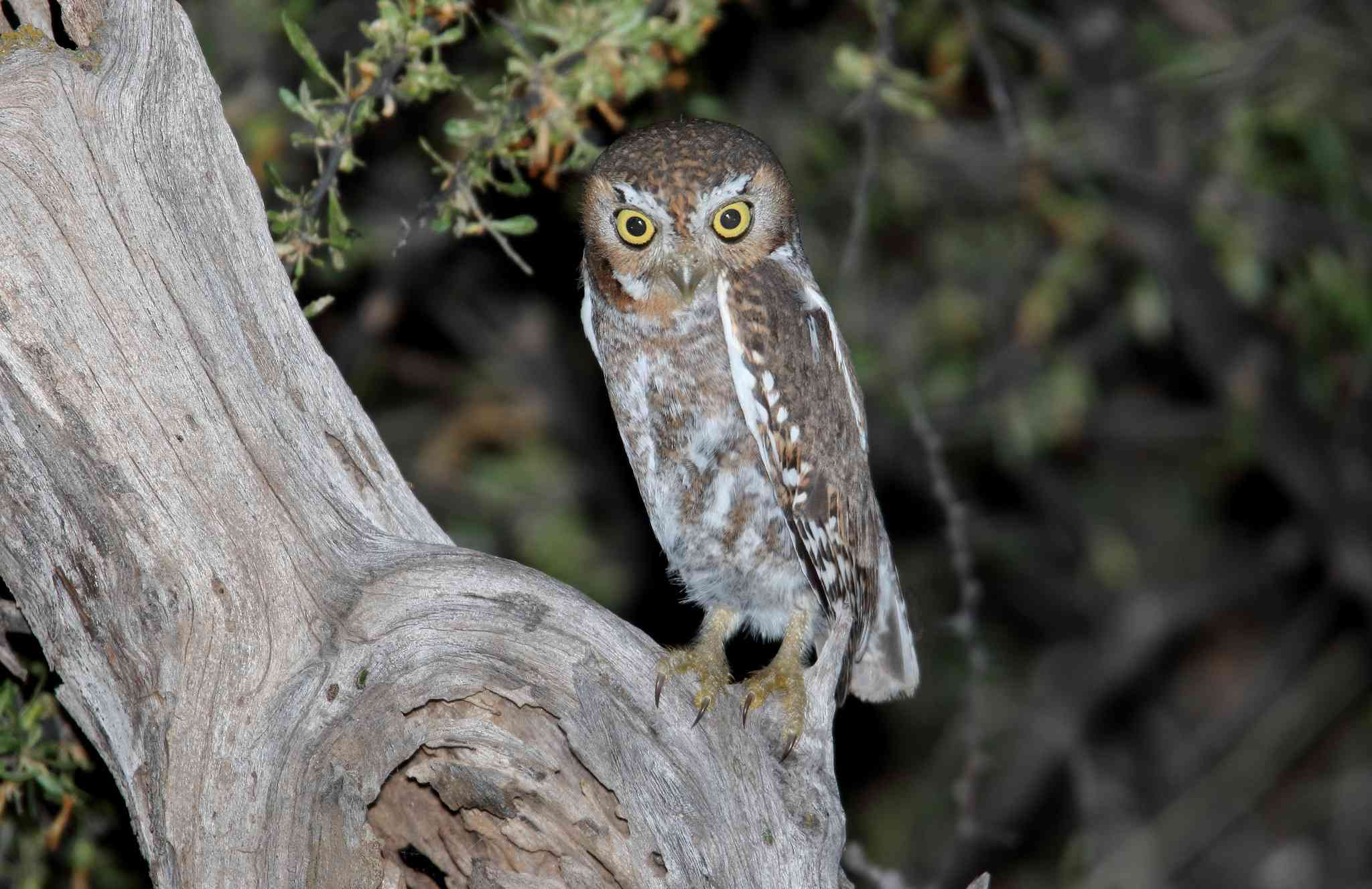 An elf owl at night with large yellow eyes