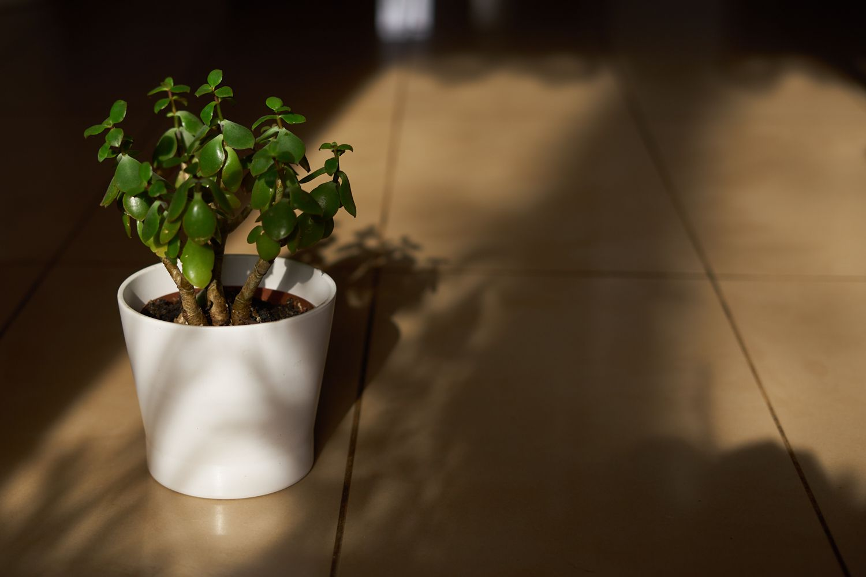 jade plant in white minimalist pot on floor in dappled sunlight