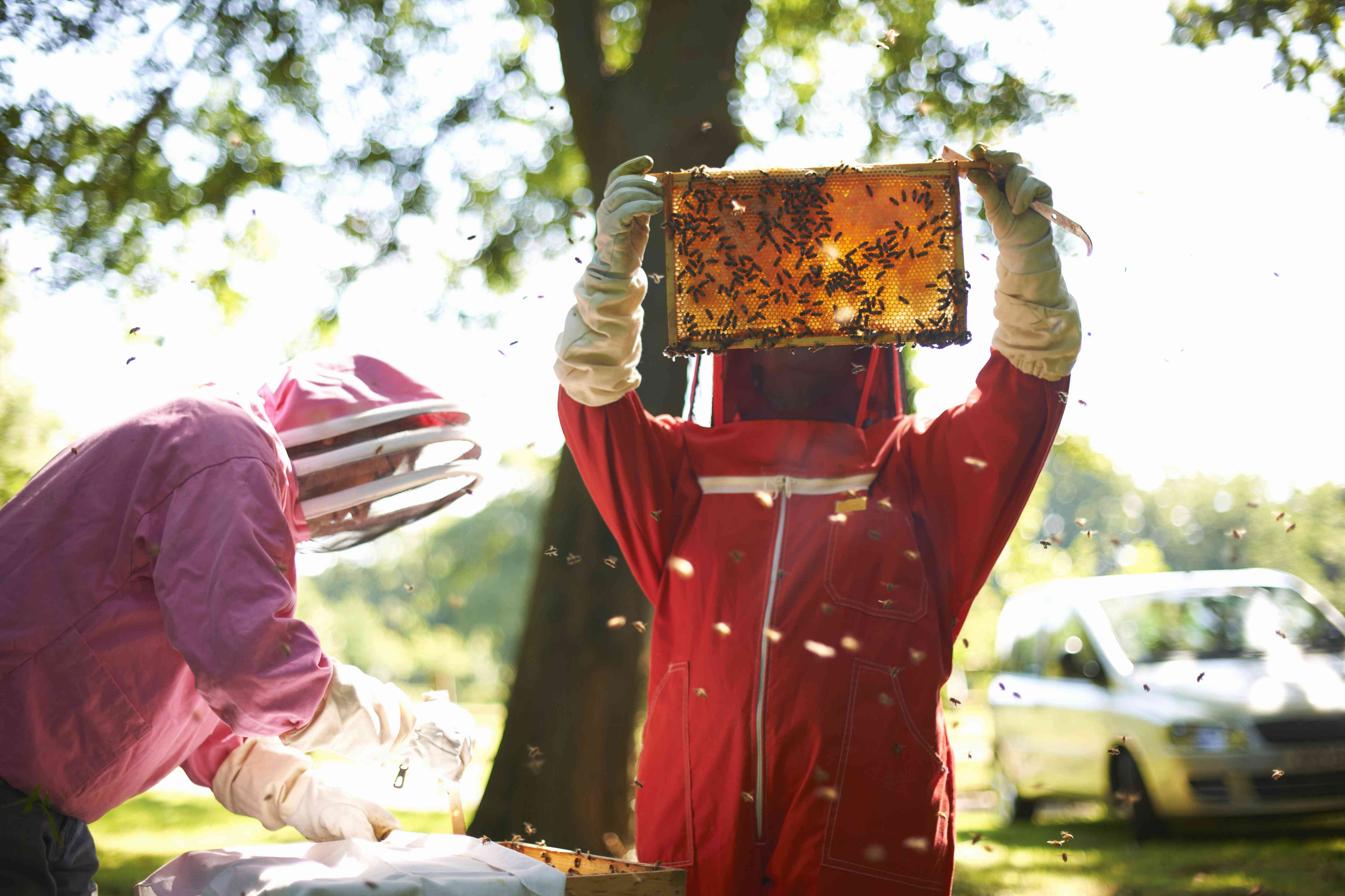 Two beekeepers lifting frame from bee hive