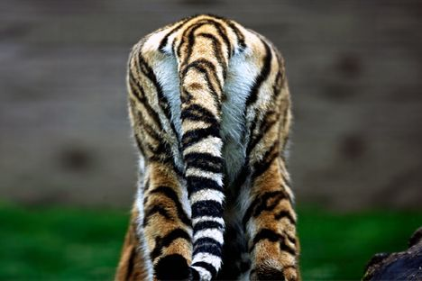 tiger tush photo