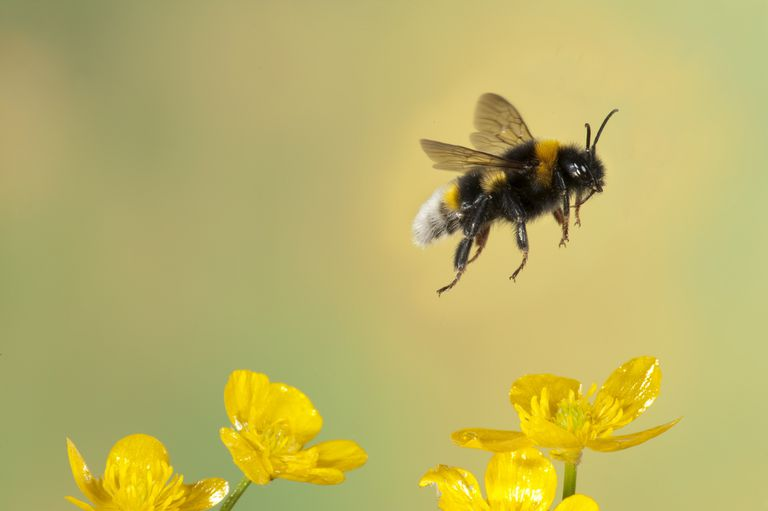 A detailed shot of a bee flying over yellow flowers.