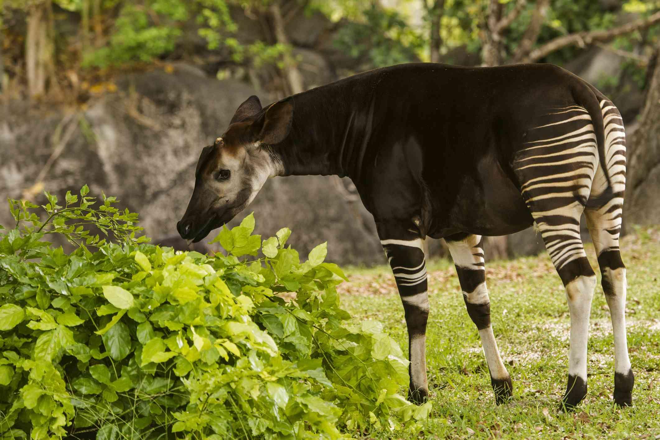 Okapi eating leaves