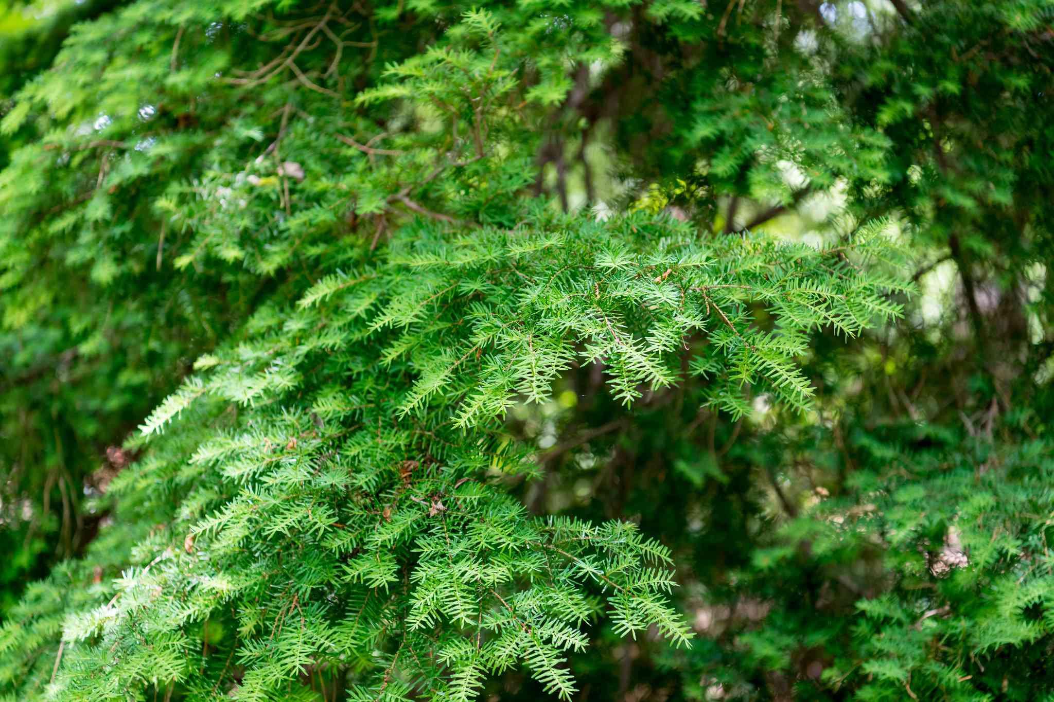 The branches of an evergreen Carolina Hemlock tree.