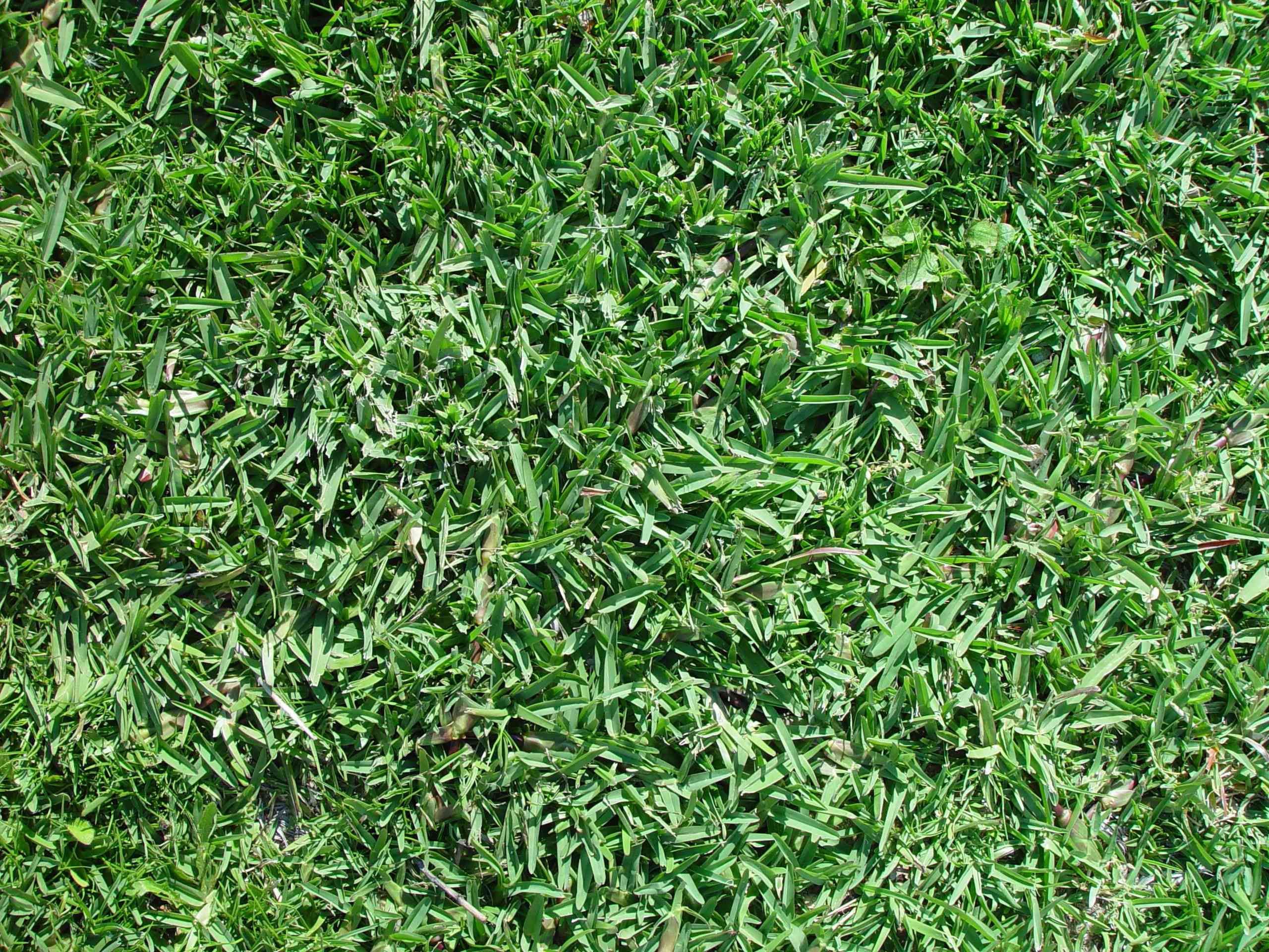 A patch of wide-bladed green grass that has been mowed short