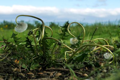 Wilted dandelions with fluffy white heads