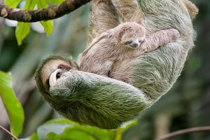 Mother and baby three-toed sloth in tree