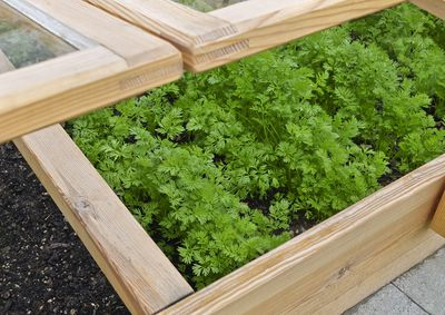 A cold frame up-close, growing greens.