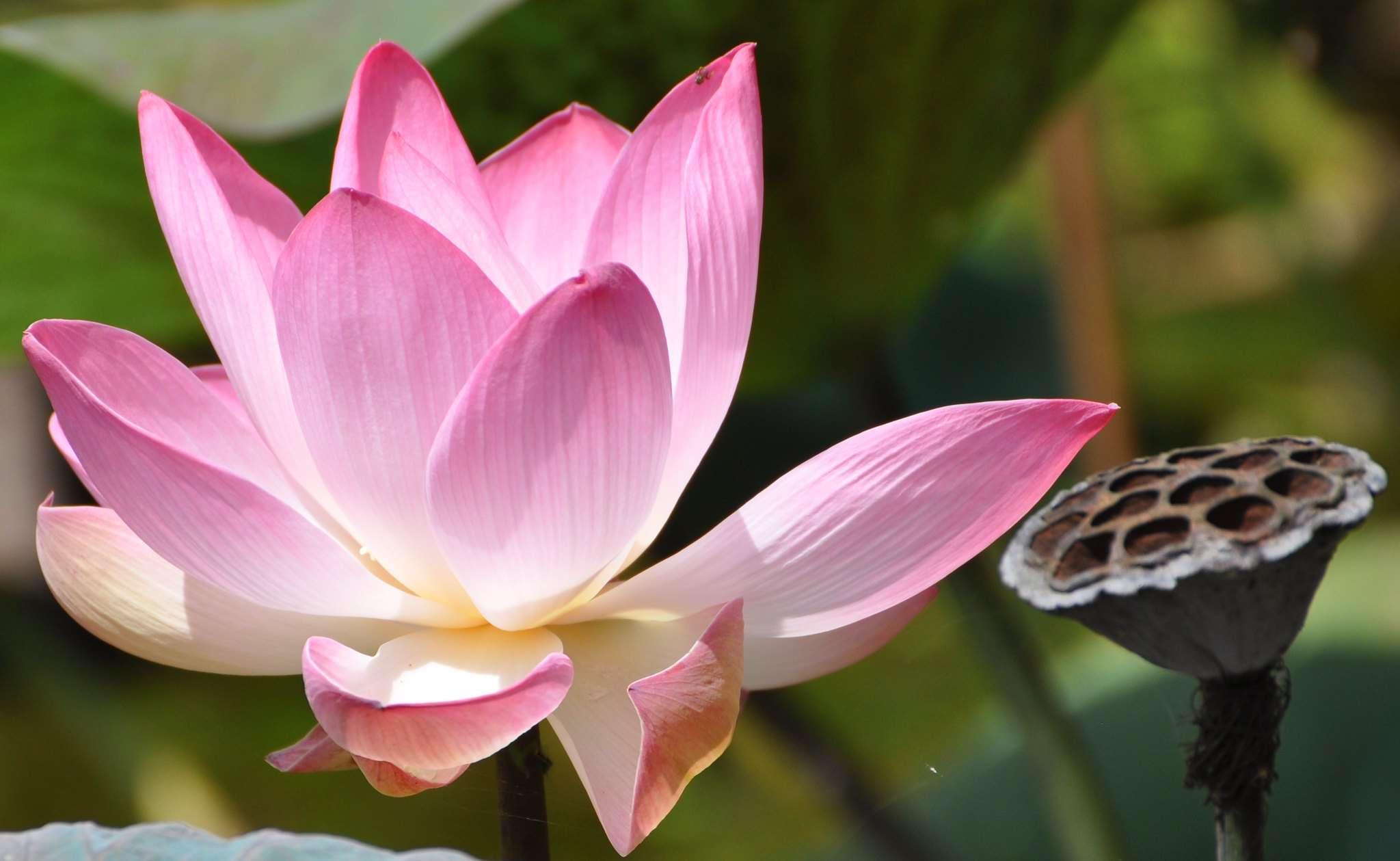 Sacred lotus (Nelumbo nucifera) flower and dried pod