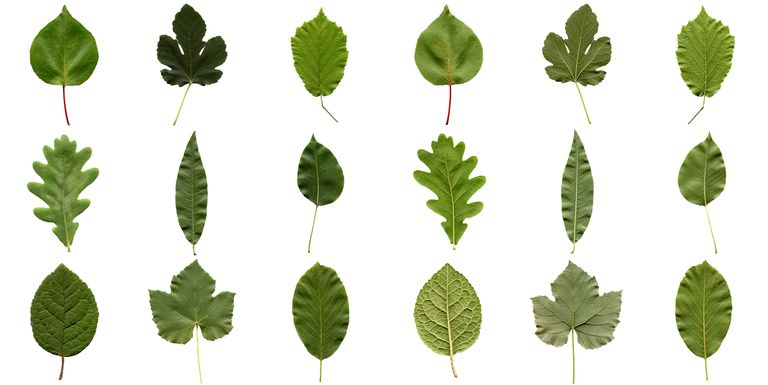 different shapes of leaves