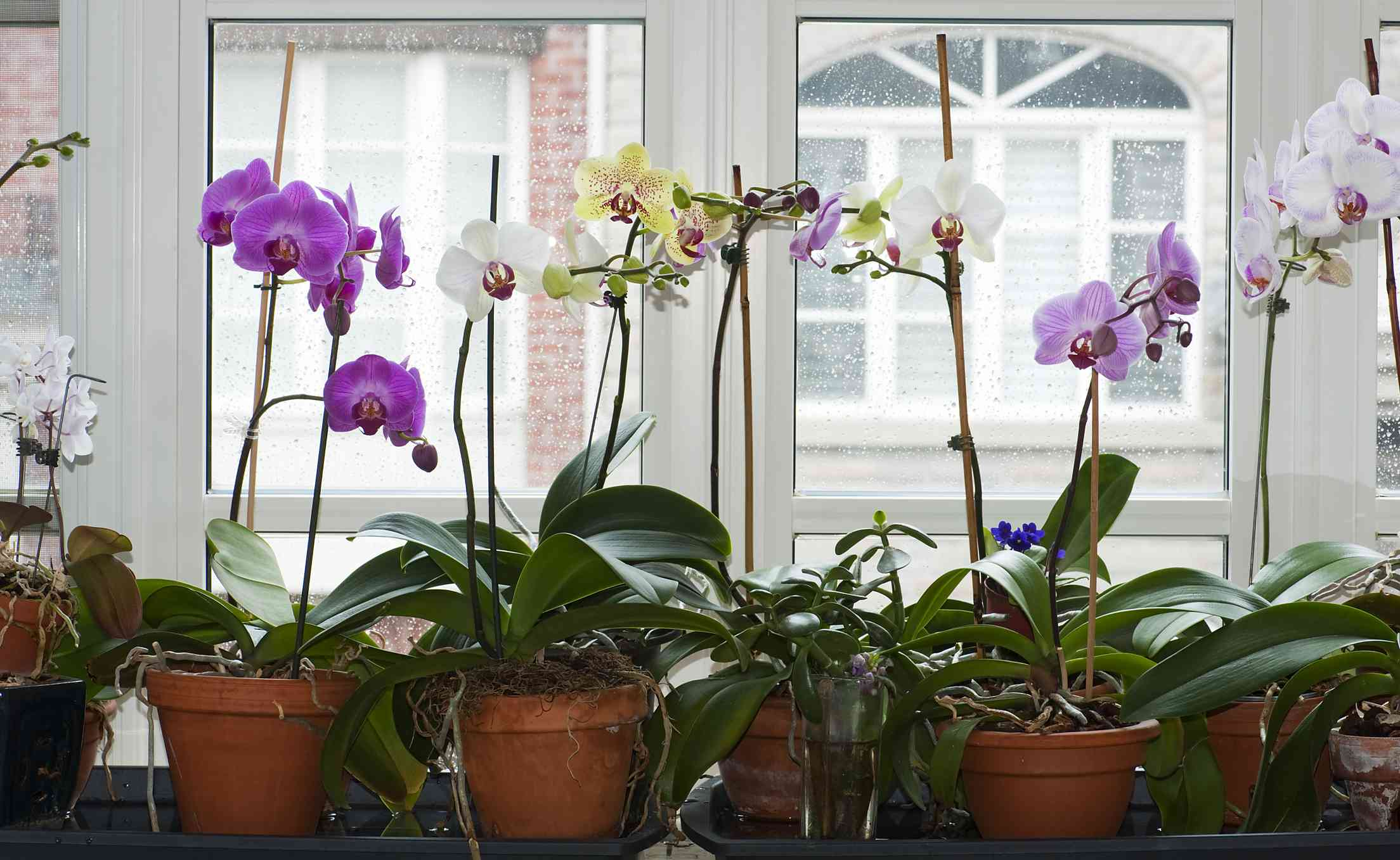 moon orchids in planters