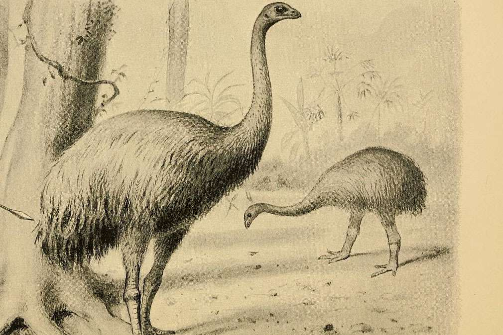pencil drawing on sepia paper of a pair of large ostrich like birds without wings and thick legs in a tropical treed area