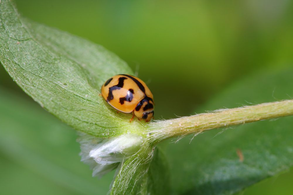 Yellow ladybug with stripes instead of spots