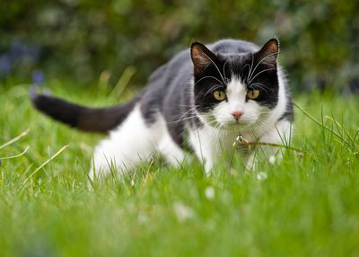 Domestic cat hunting for mice in the garden