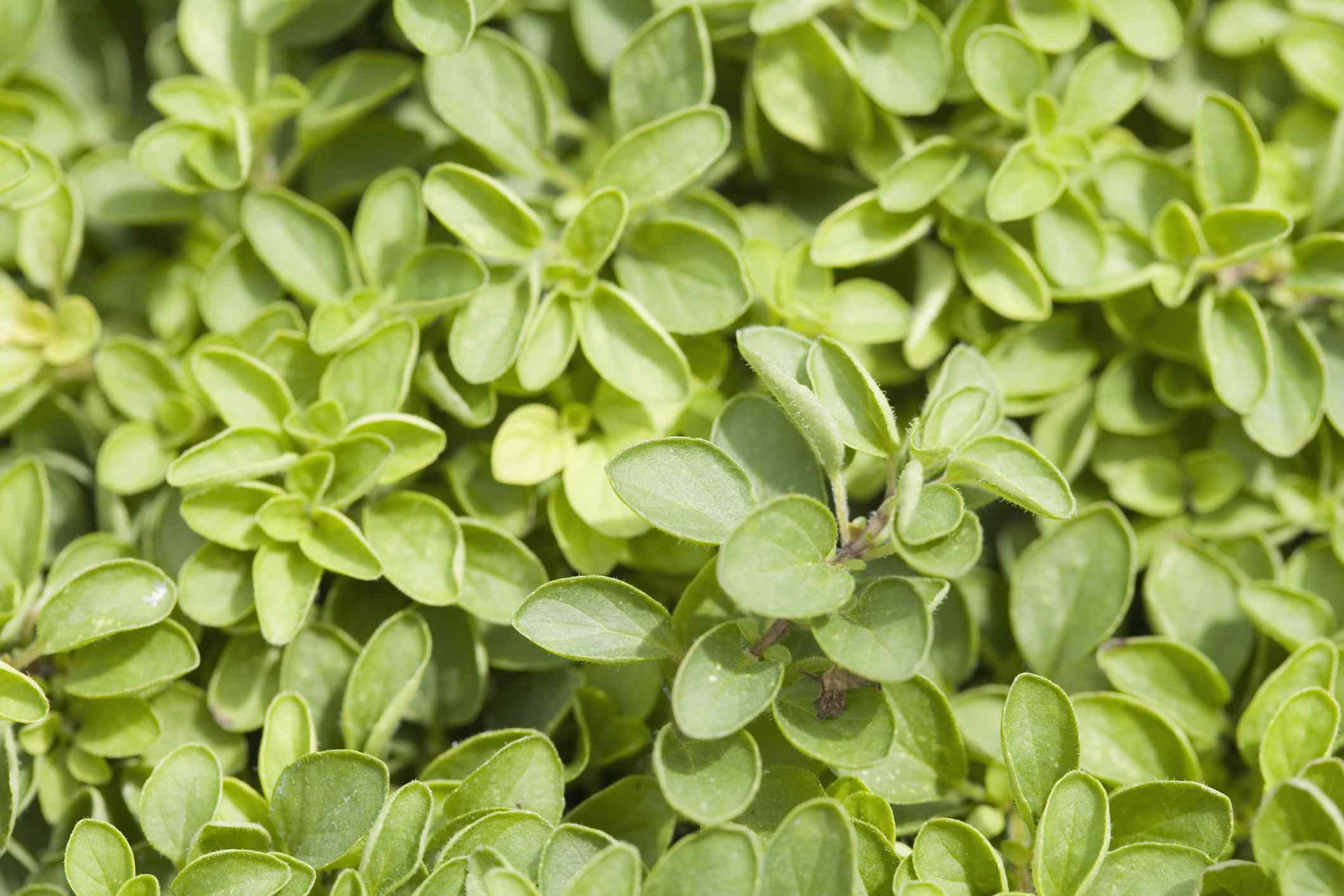 A patch of oregano plants growing closely together.