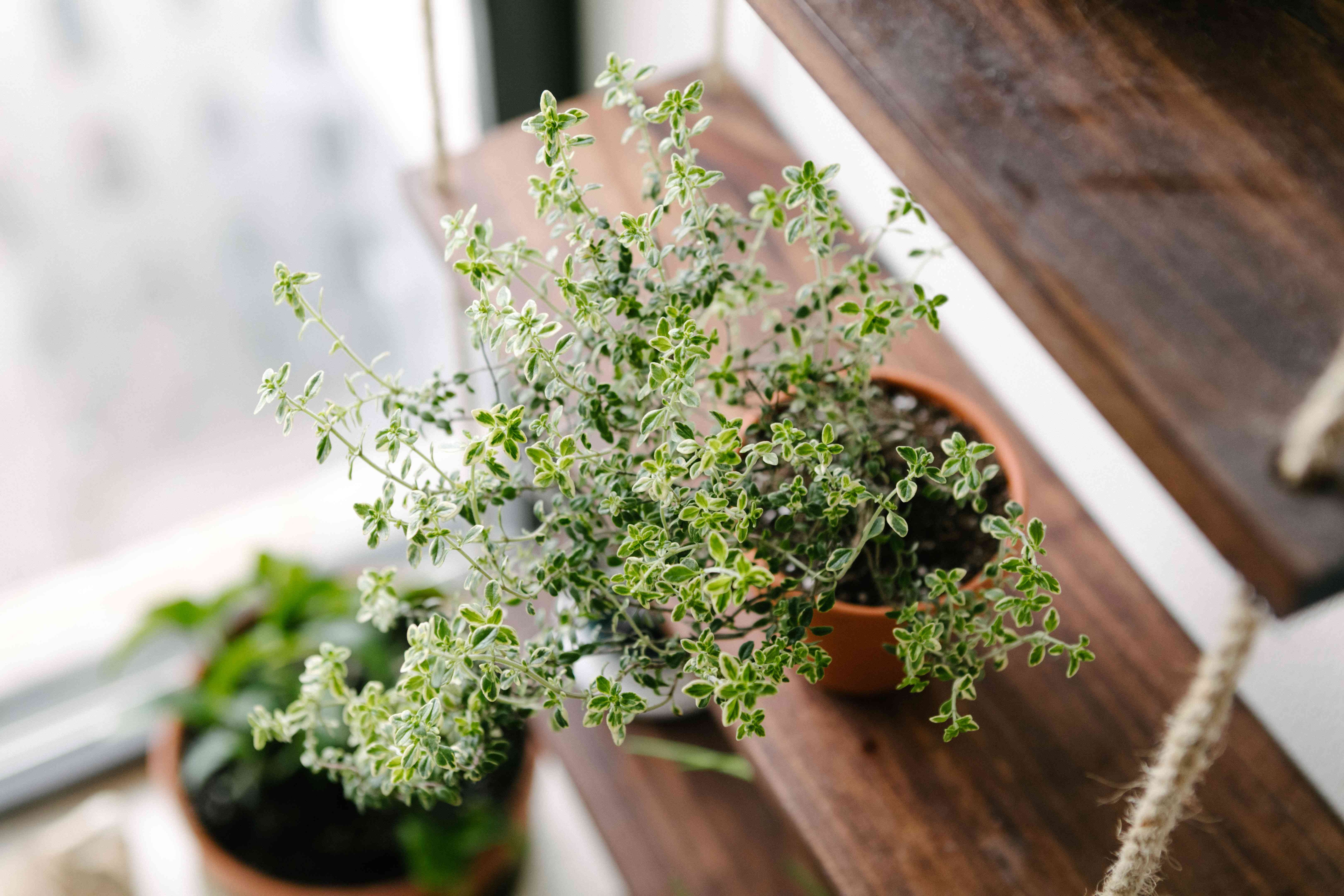 thyme herb in terra cotta pot on hanging wooden shelf with rope