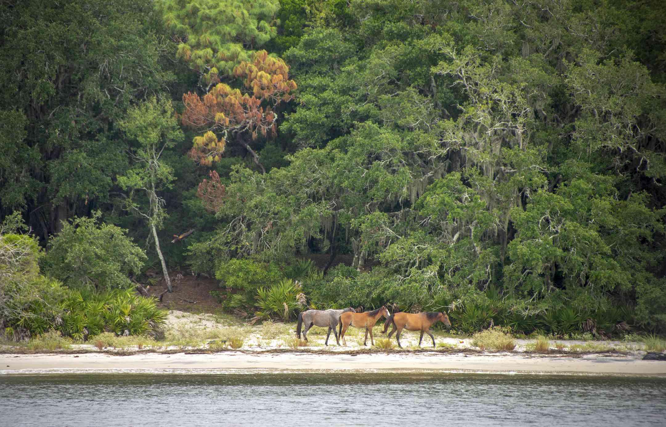 Three feral horses along the seashore with large trees behind them at Cumberland Island National Seashore
