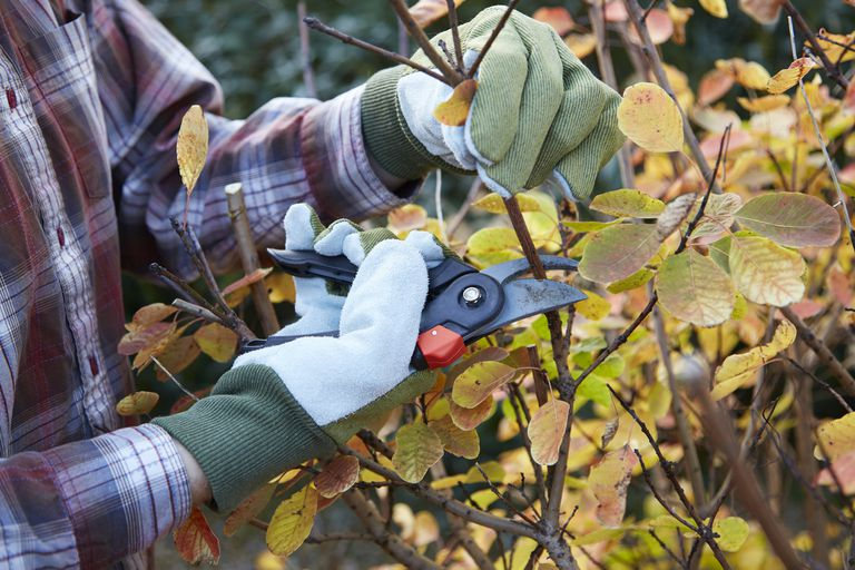 pruning bush with clippers