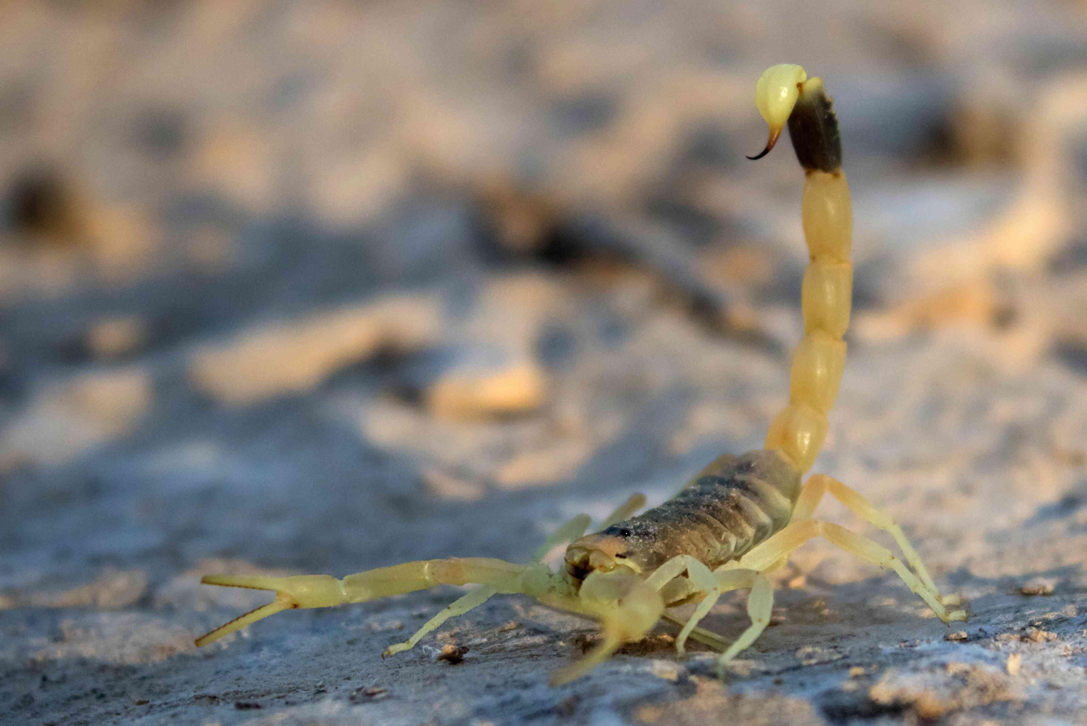 The deathstalker scorpion (Leiurus quinquestriatus)