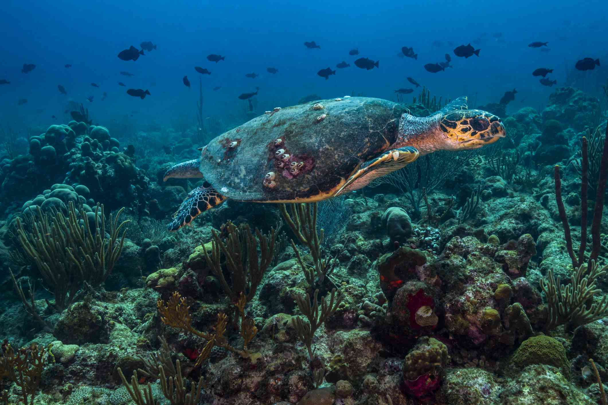 sea turtle gliding over a coral reef in St. Croix with fish in the background