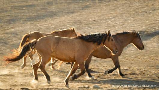 captive mustangs run through a pasture together