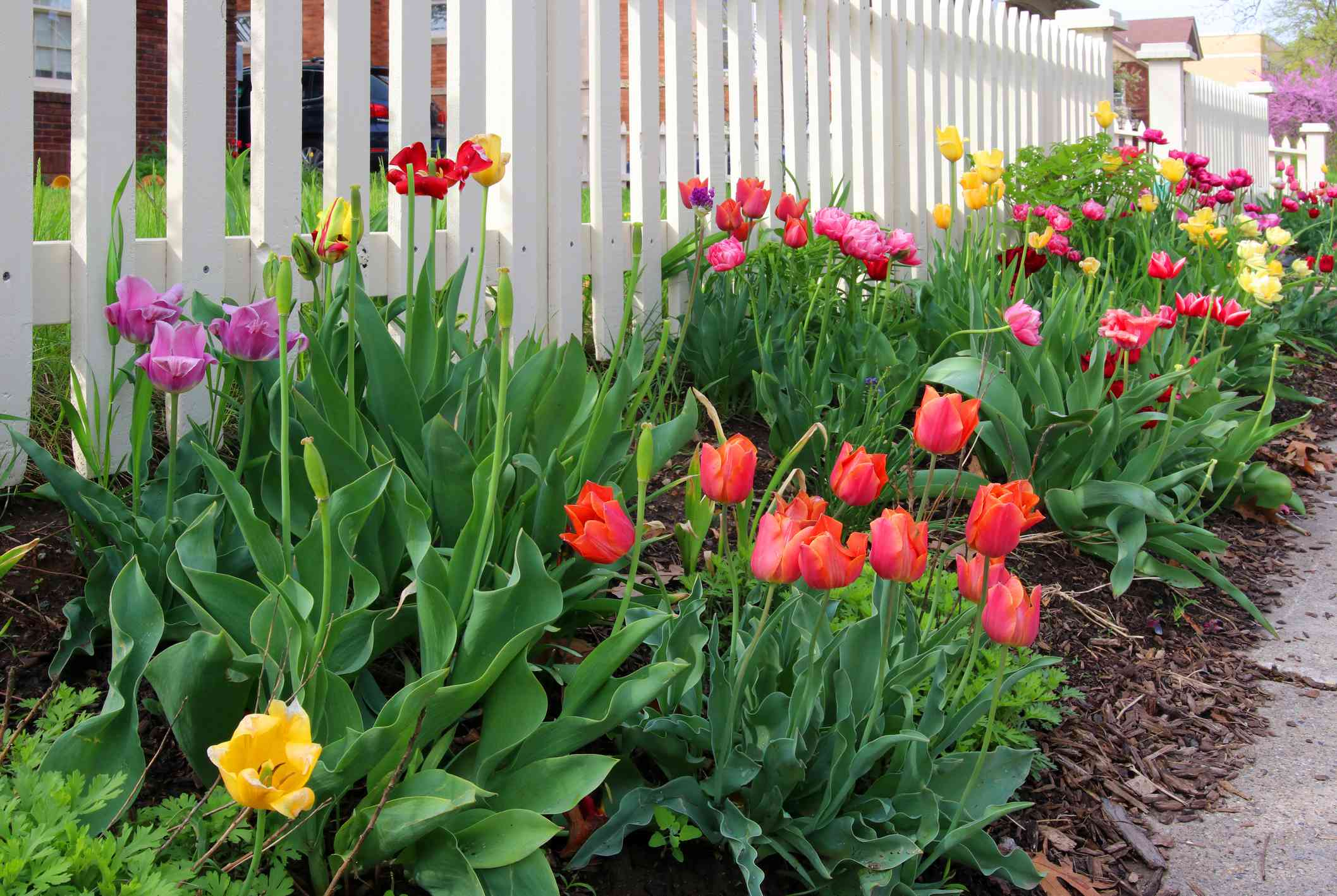 Tulips in various colors planted along a white picket fence