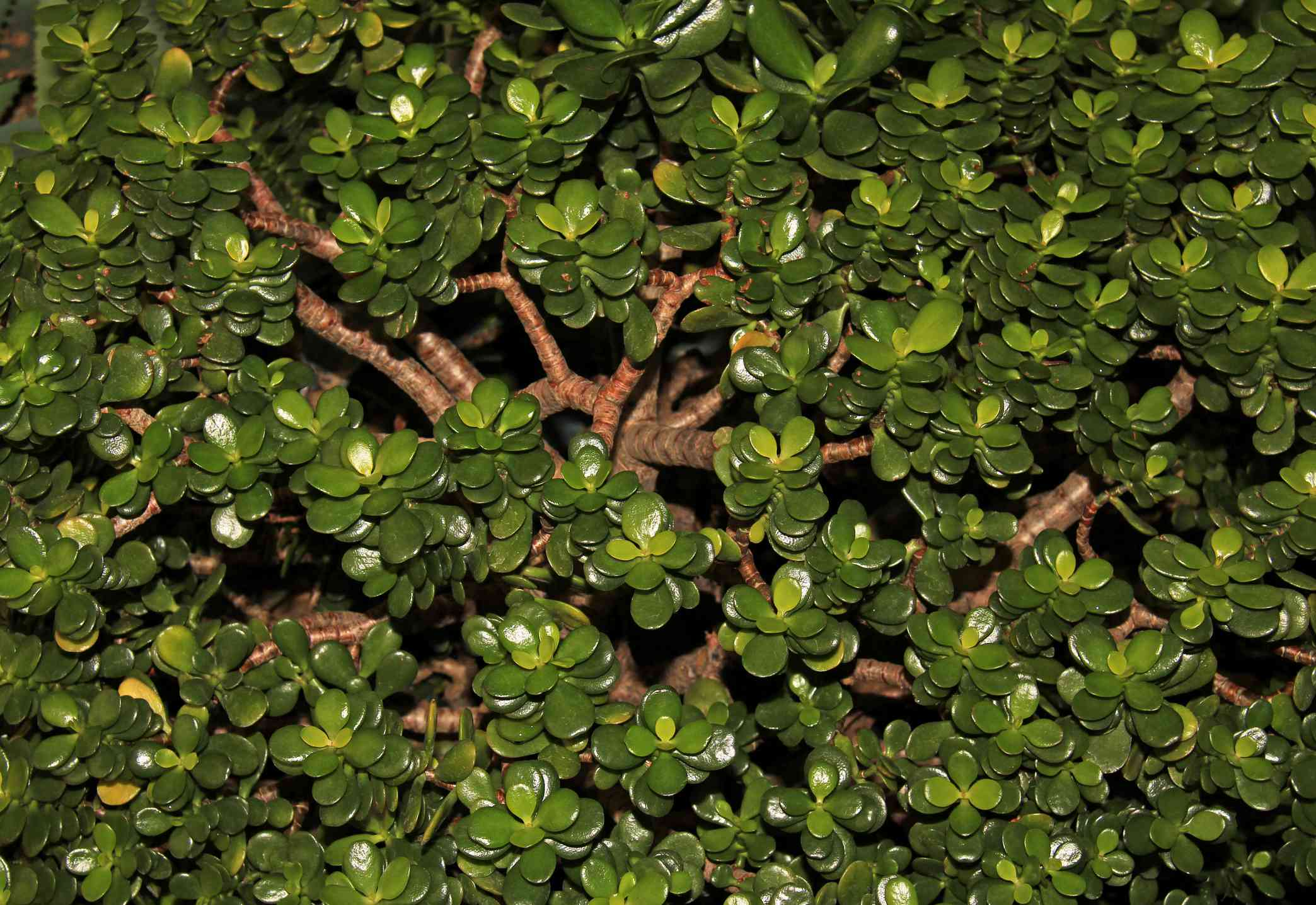 Crassula ovata - Jade plant - Friendship tree - Lucky plant - Money tree