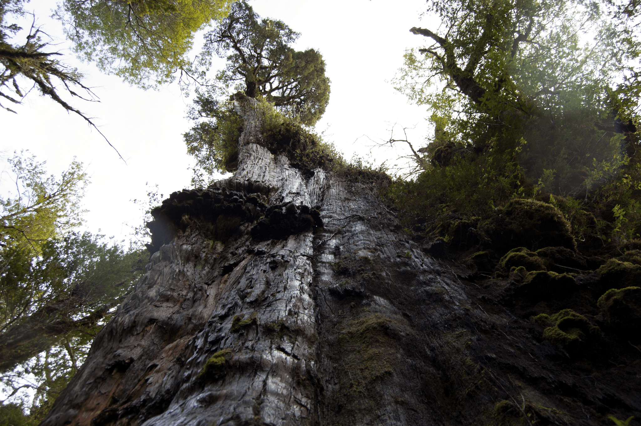 View looking up at the enormous, ancient tree Alerce