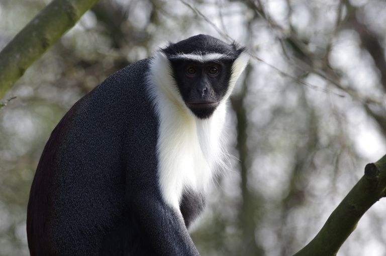 Diane of Roloway Monkey cercopithecus