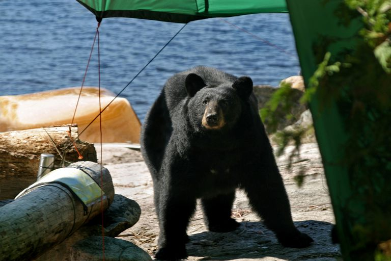Blackbear walking into a campsite, water in the background