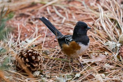 Spotted Towhee looking for food next to pine cone