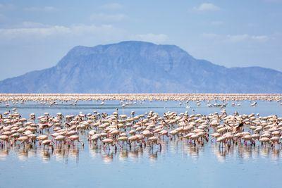 Lesser flamingos feeding on Lake Natron with Mount Shompole / Tanzania