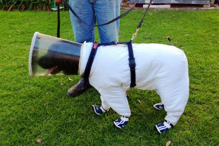 Perro apicultor con traje de 'astronauta' detecta colmenas infectadas por olor